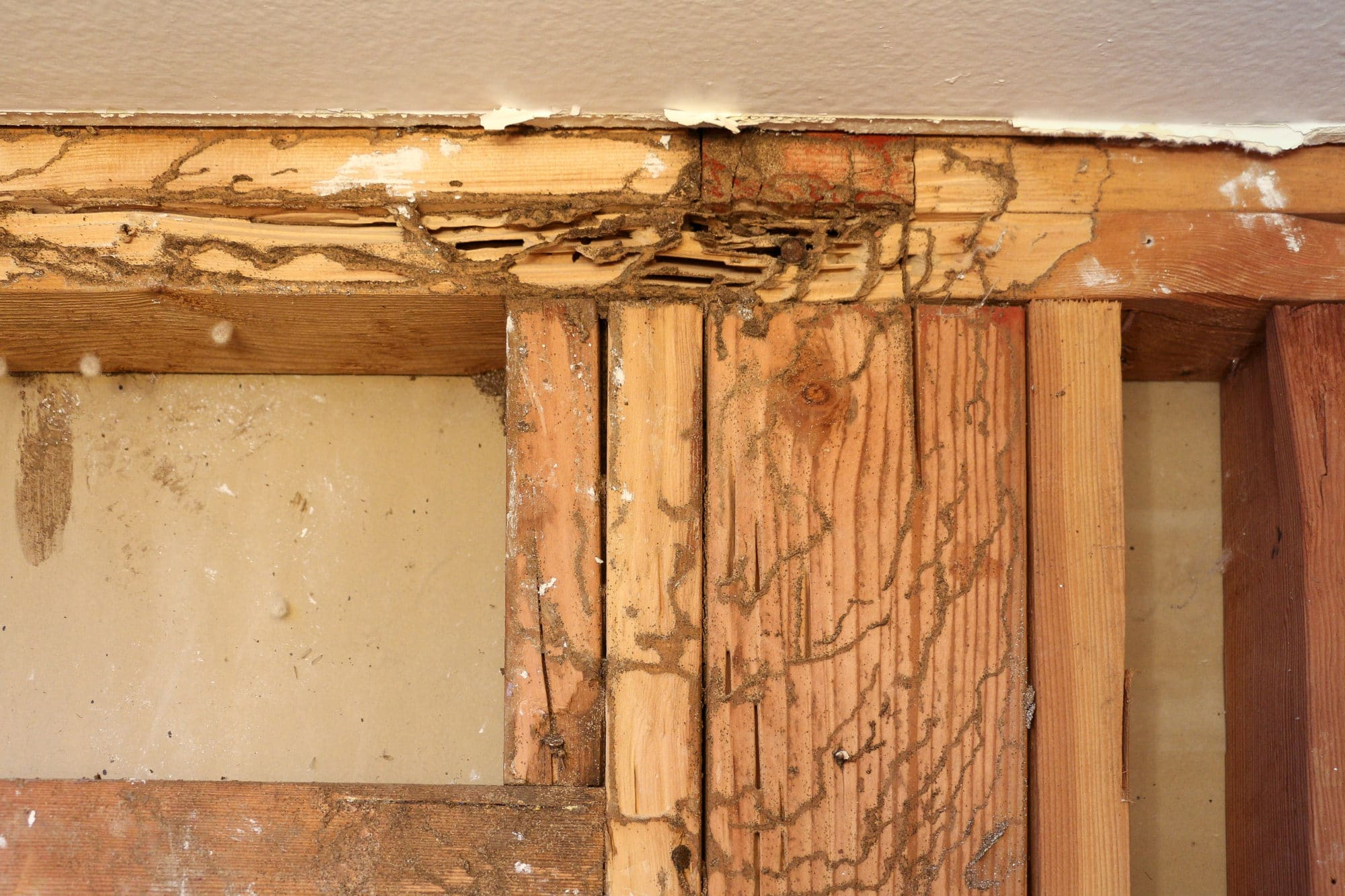 Mud tubules and tracks of subterranean termites on exposed studs in wall discovered during a Sierra Remodeling kitchen remodel.